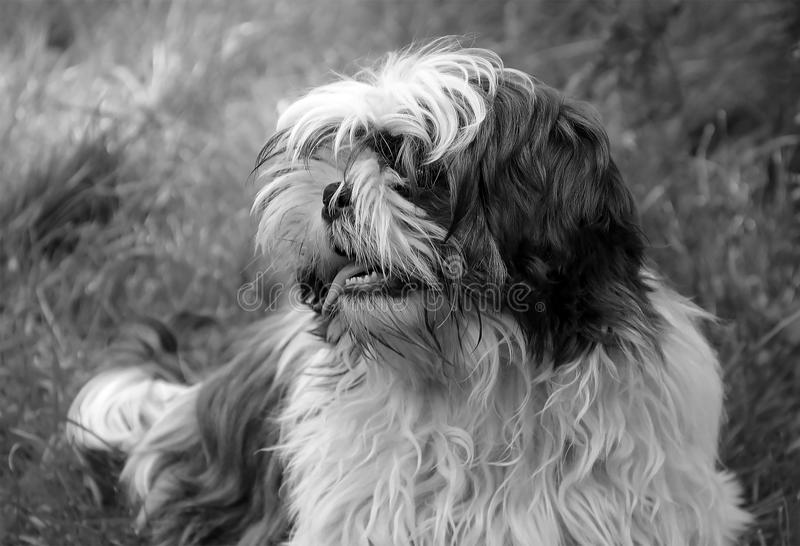 Shaggy dog on the grass. Black and white photo stock photo