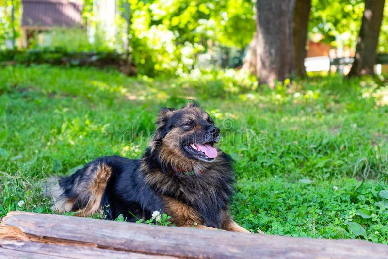 Shaggy dog is lying on the green grass on a sunny day. Soft focus.  royalty free stock photo