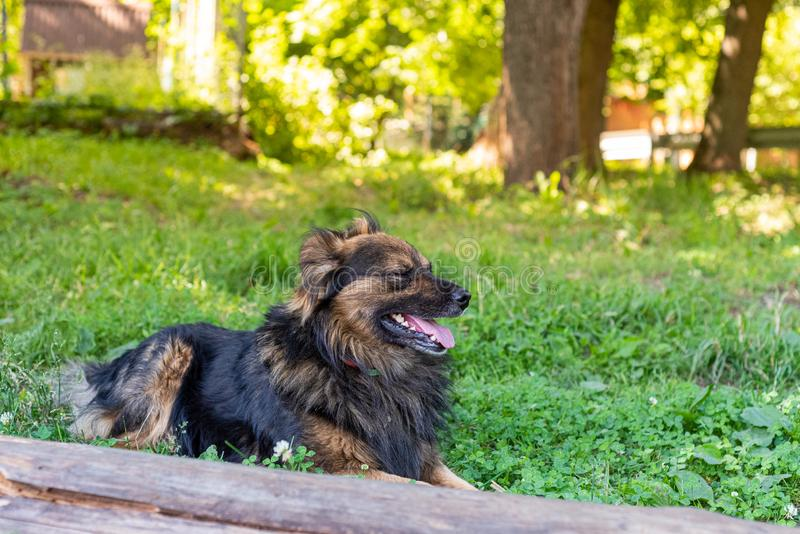 Shaggy dog is lying on the green grass on a sunny day. Soft focus.  stock image