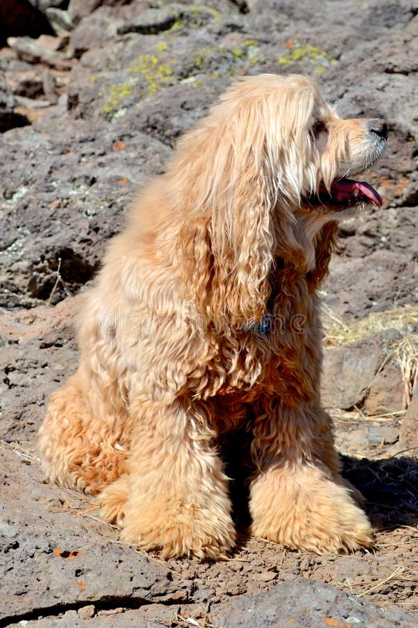 Shaggy dog. Profile in wind and desert stock photos