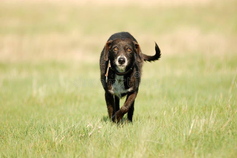 Shaggy dog roams the field. A shaggy dog roams the field royalty free stock photo