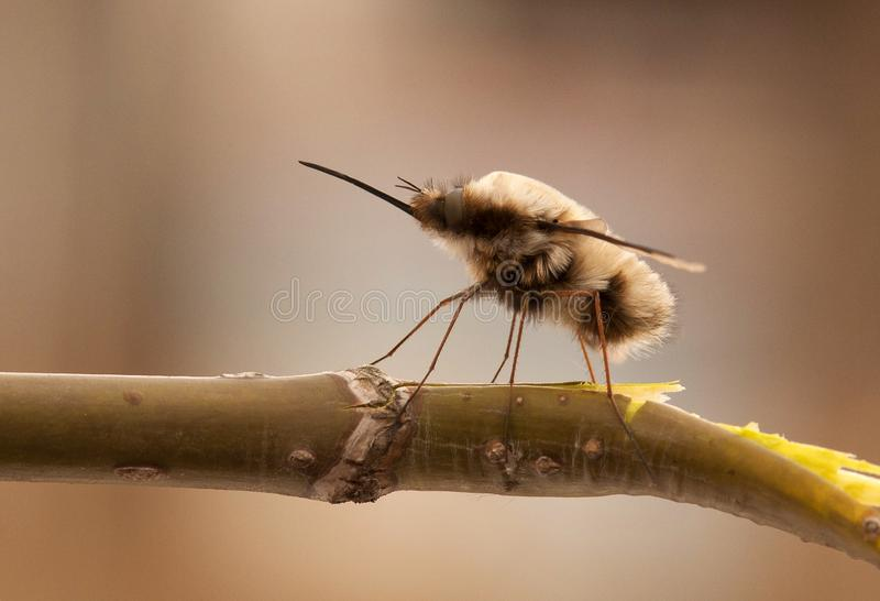 shaggy fly sits on a branch. macro. close-up stock image