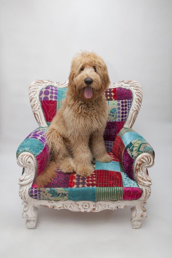 Shaggy Goldendoodle Puppy sur une chaise colorée de fantaisie image libre de droits