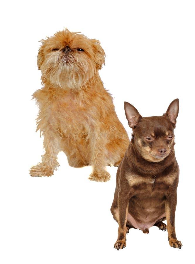 Shaggy Griffon Bruxellois и русские изолированные собаки терьера игрушки сидеть стоковые фото