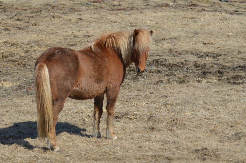 Shaggy Icelandic Horse stock afbeelding