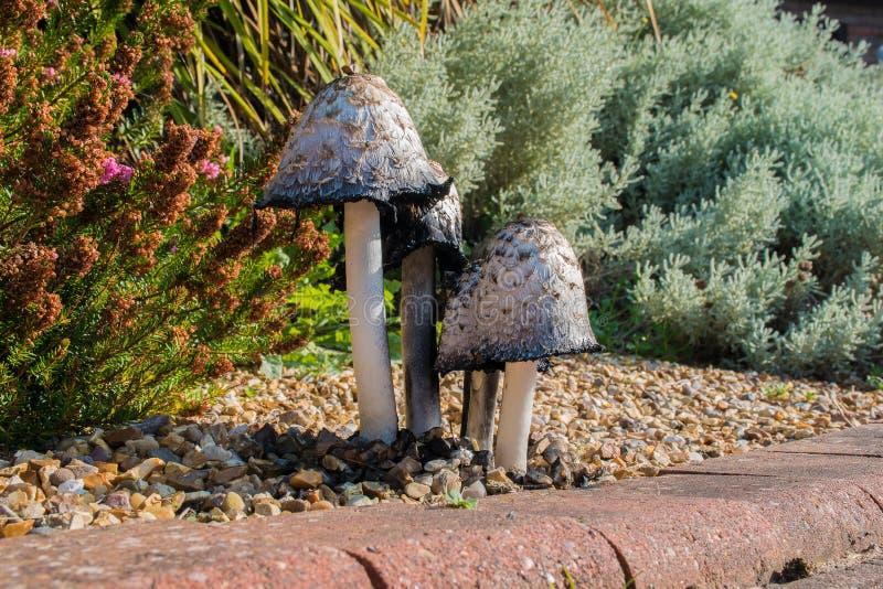 Shaggy Ink Caps Mushrooms fotografia stock libera da diritti