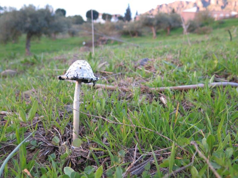 Shaggy Inkcap Mushroom royalty-vrije stock foto's