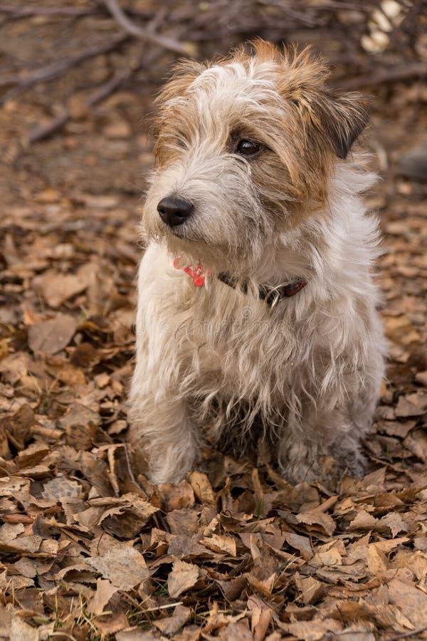 Shaggy Jack Russell Terrier en el bosque del otoño que el perro se está sentando imagenes de archivo