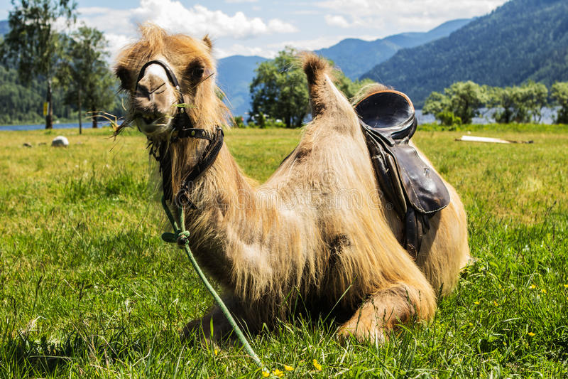 Shaggy Kamel lizenzfreie stockfotografie