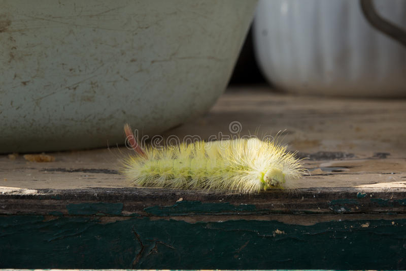 Download Shaggy larva. stock image. Image of table, yellow, tries - 83722619