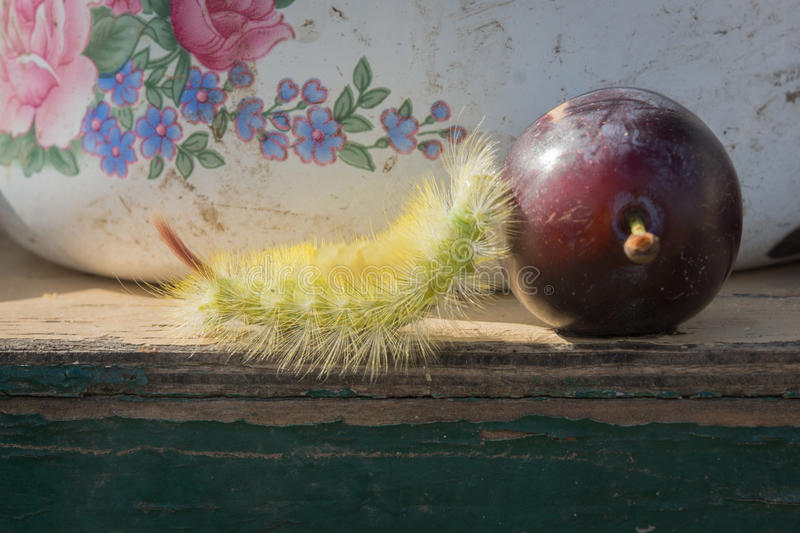 Download Shaggy larva and plum. stock photo. Image of worm, tries - 83722420