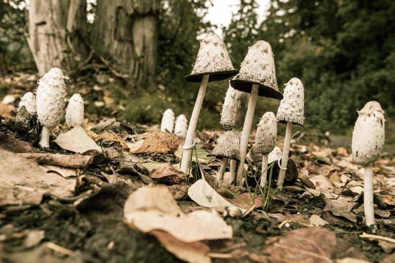 Shaggy Mane Mushrooms royaltyfri foto