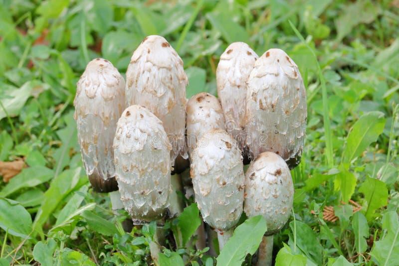 Shaggy Mane Mushrooms Closeup royalty-vrije stock fotografie