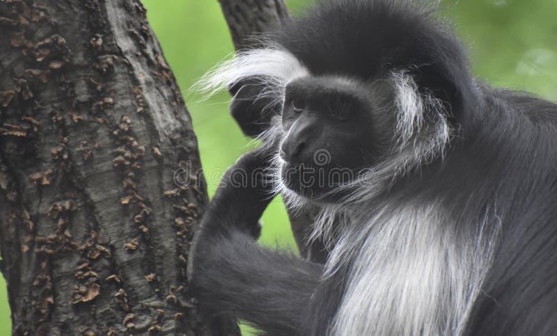 Shaggy Mantled Guereza Monkey Hanging in een Boom stock afbeeldingen