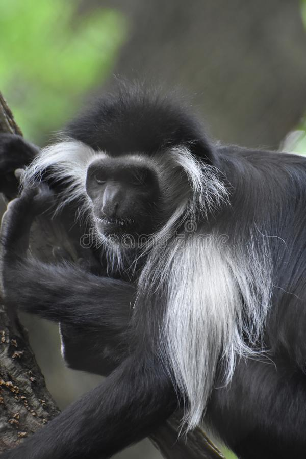 Shaggy Mantled Guereza Monkey Sitting in een Boom royalty-vrije stock foto's