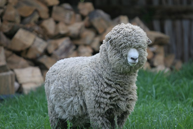 shaggy owce obrazy stock