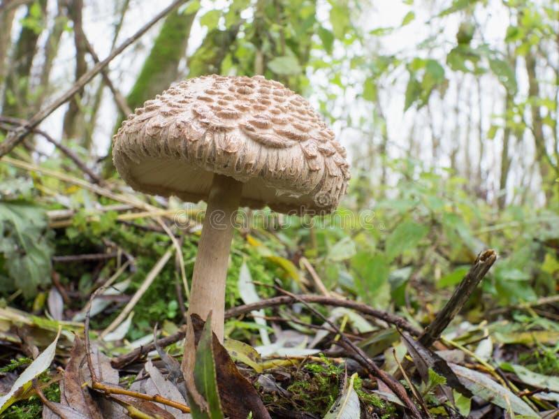 Shaggy parasol mushroom. Chlorophyllum rhacodes mushroom is also known as shaggy parasol royalty free stock images