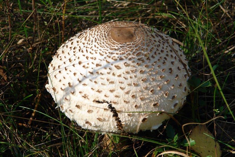 Shaggy parasol mushroom. Shaggy parasol Chlorophyllum rhacodes is a beautiful and delicious mushroom stock images