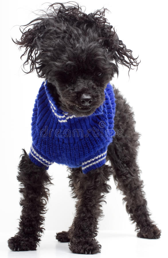 Shaggy Poodle In Blue Sweater stock foto's