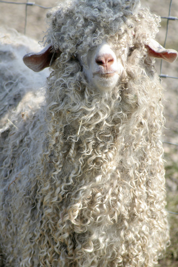 Shaggy sheep royalty free stock images