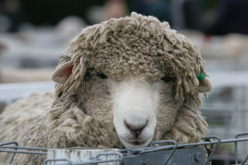Shaggy sheep in the pens royalty free stock photography
