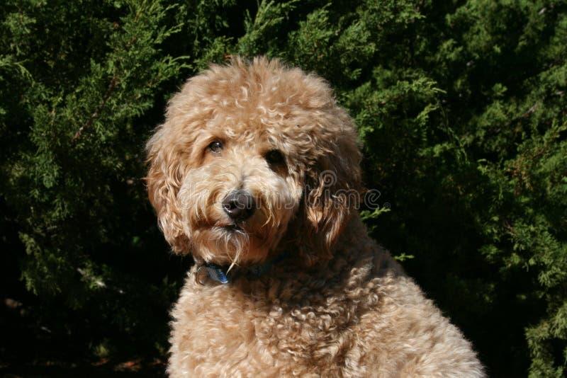 Shaggy Tan Golden Noodle Dog royalty-vrije stock afbeelding