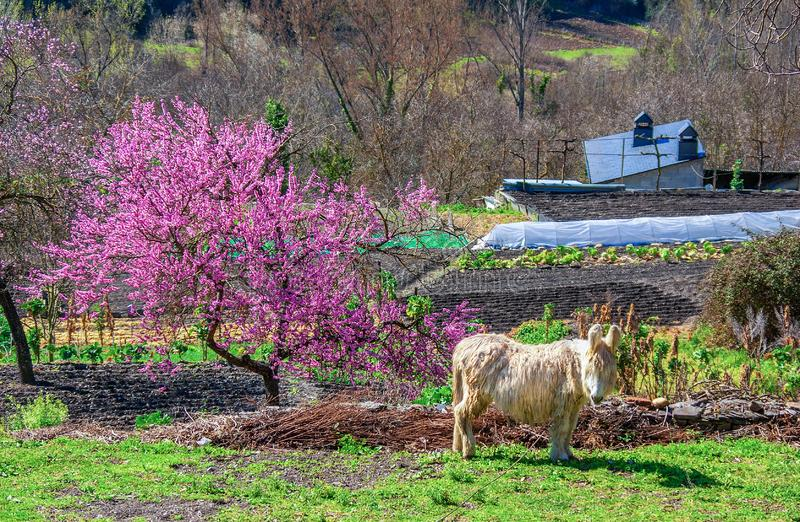 Shaggy ungroomed donkey with long light hair, beautiful flowering almond tree and plowed land in a mountain village in spring. Gal stock images