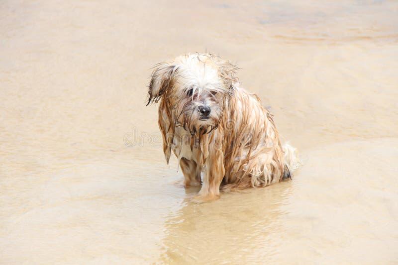 Shaggy wet dog on sandy beach stock photography