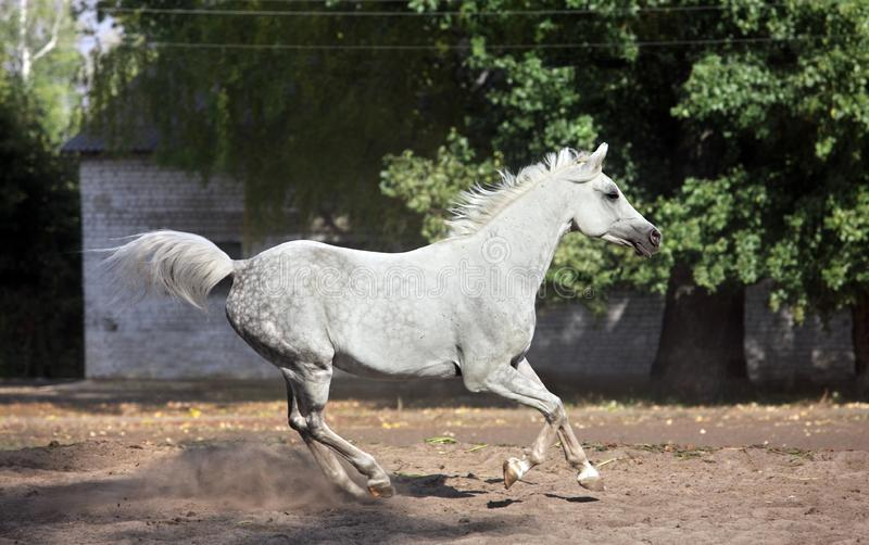 Shagya Arabian horse gallopiung. Shagya Arabian horse - running on stud farm ranch stock images