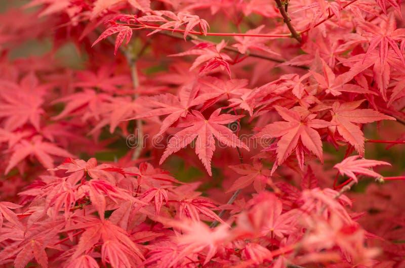 Shaina鸡爪枫(Acer palmatum) 免版税库存图片