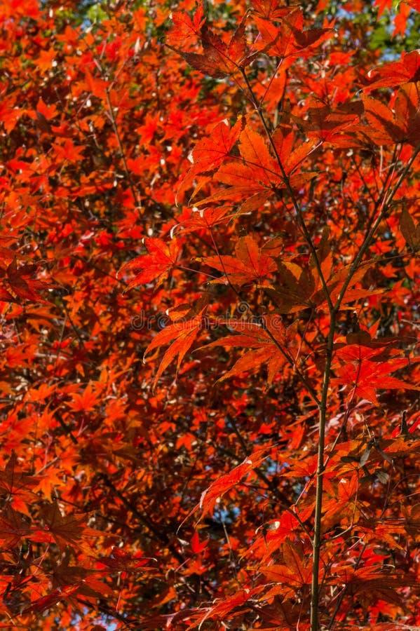 Shaina Japanese Maple (palmatum d'Acer) photographie stock libre de droits