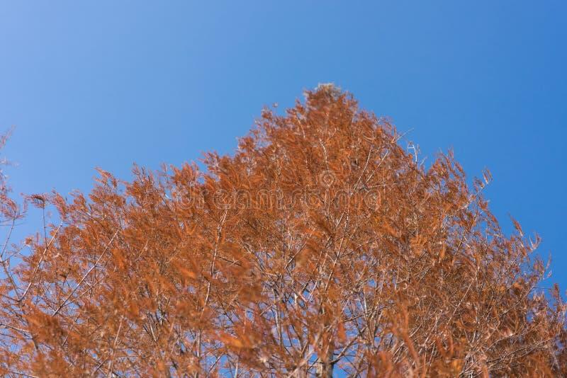 Shaina Japoński klon (Acer palmatum) zdjęcie royalty free