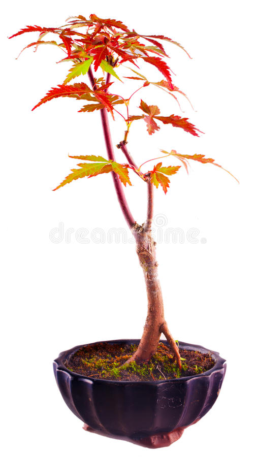 Shaina Japoński klon (Acer palmatum) obrazy royalty free