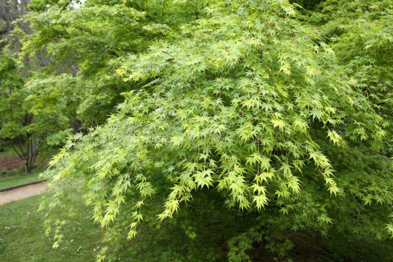 Shaina Japoński klon (Acer palmatum) fotografia stock