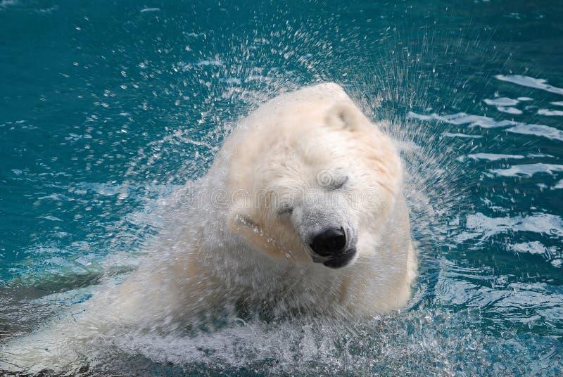 Shaking polar bear 2 royalty free stock photos