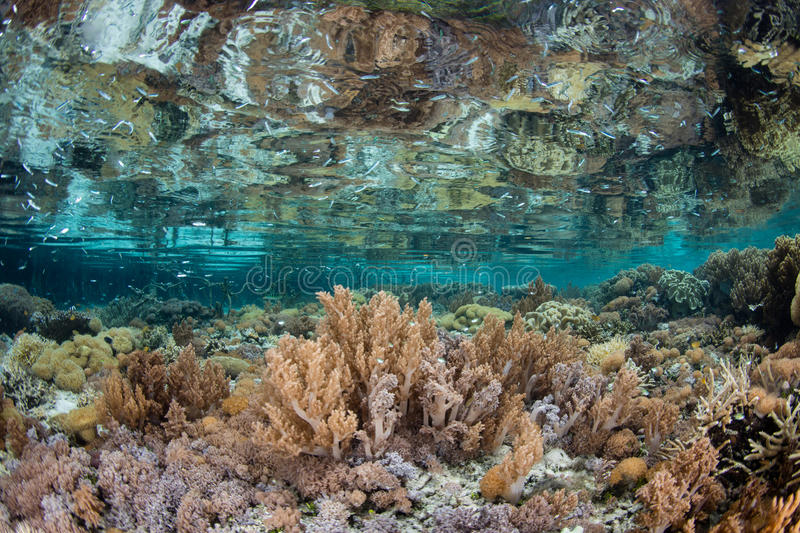Shallow Coral Reef in Raja Ampat. Corals cover the shallow seafloor in Raja Ampat, Indonesia. This remote region of eastern Indonesia is home to extraordinary royalty free stock photo