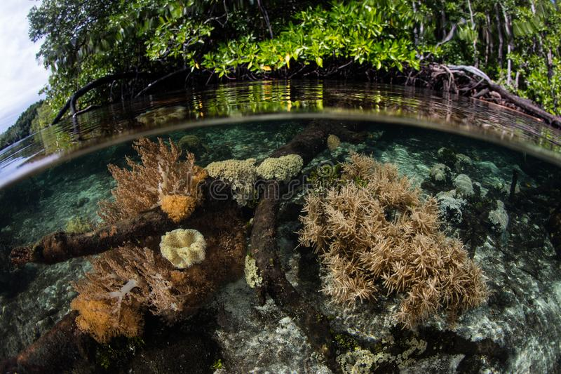 Shallow Corals and Mangrove Forest in Raja Ampat. Healthy corals grow in the shallows next to a mangrove forest in Raja Ampat, Indonesia. This region is known as stock photos