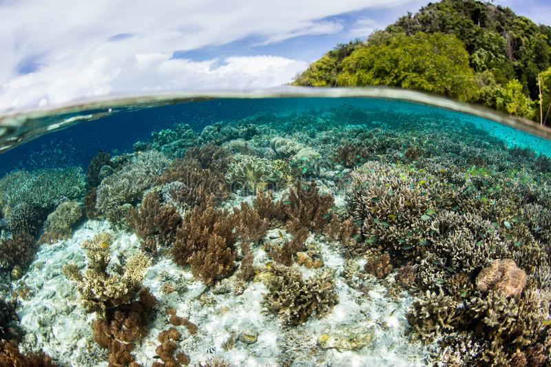 Shallow Corals Near Island in Raja Ampat. Healthy corals grow in the shallows next to a beautiful island in Raja Ampat, Indonesia. This region is known as the ` stock image