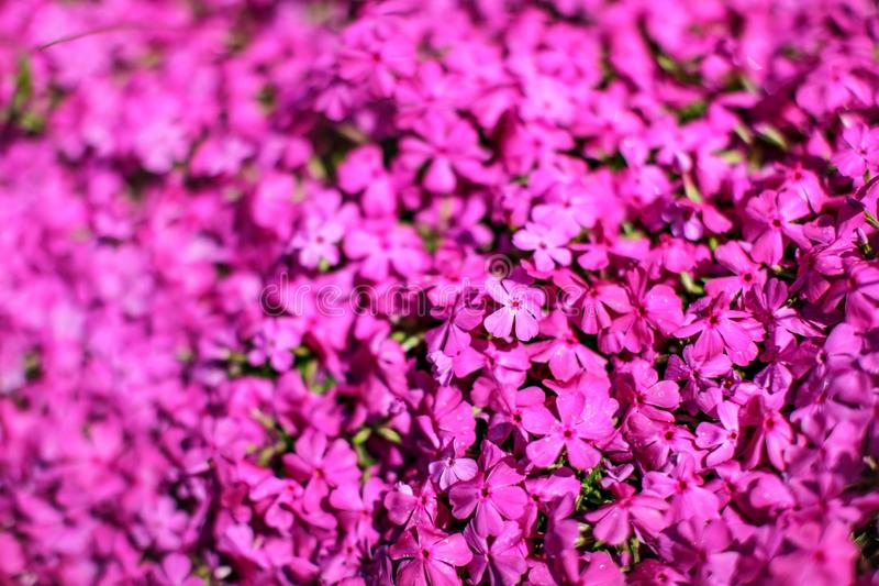 Shallow depth of field photo, only few flowers in focus, pink flowerbed. Abstract spring garden floral background royalty free stock images