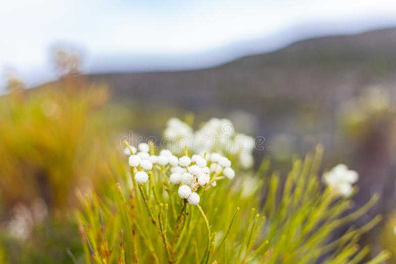 White coastal flowers on a beach in Cape Town South Africa stock photography