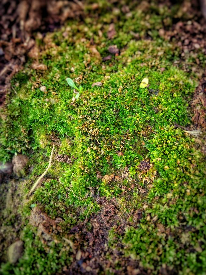 Shallow Focus Photo of Green Moss royalty free stock photography