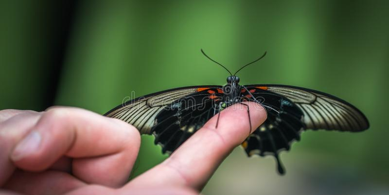 Shallow Focus Photograph of Black Butterfly on Person's Index Finger stock photography