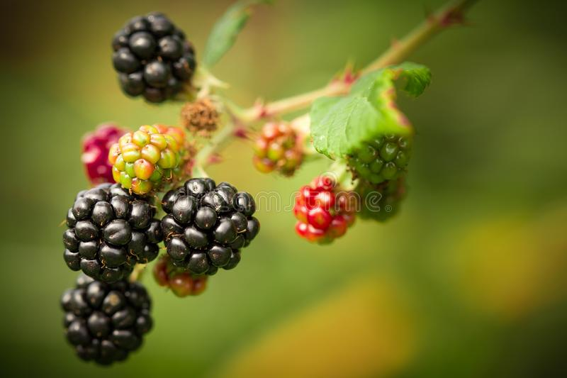 Shallow Focus Photography of Berries stock photography