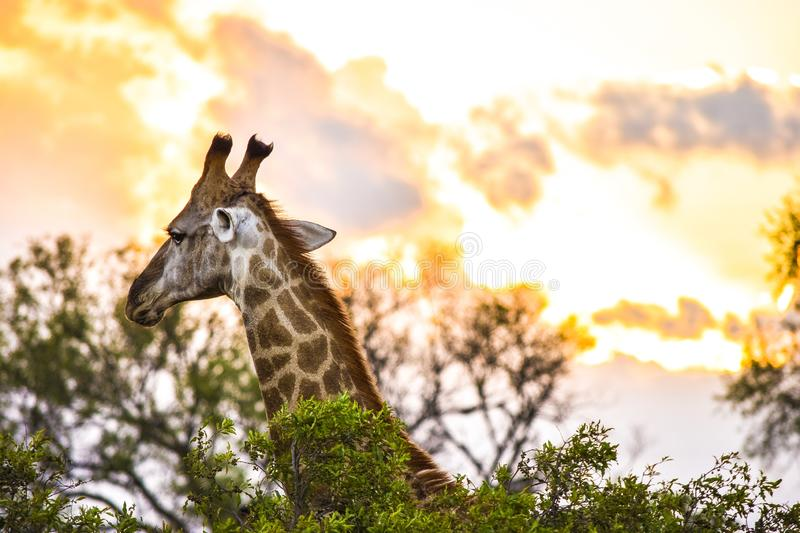 Shallow focus photography of a giraffe in the wild stock photography