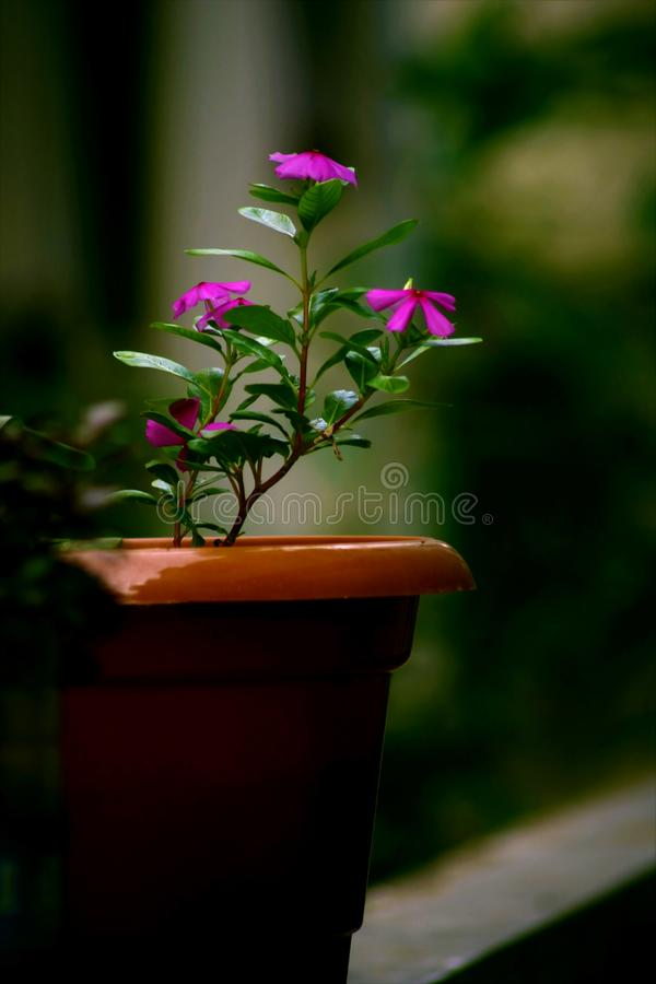 Shallow Focus Photography of Pink Flower Plant With Brown Pot royalty free stock photography