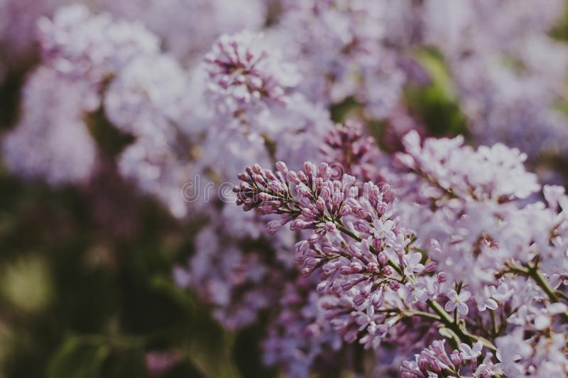 Shallow Focus Photography of Pink Flowers royalty free stock photography