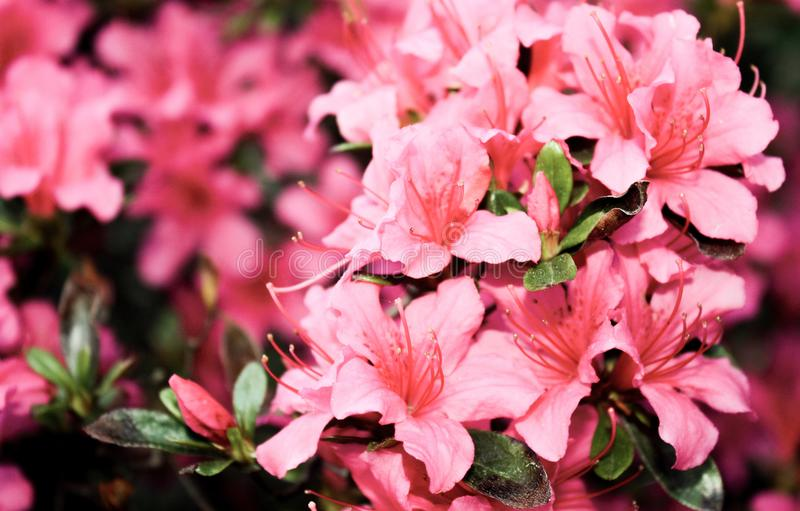 Shallow Focus Photography of Pink Petaled Flowers stock photography