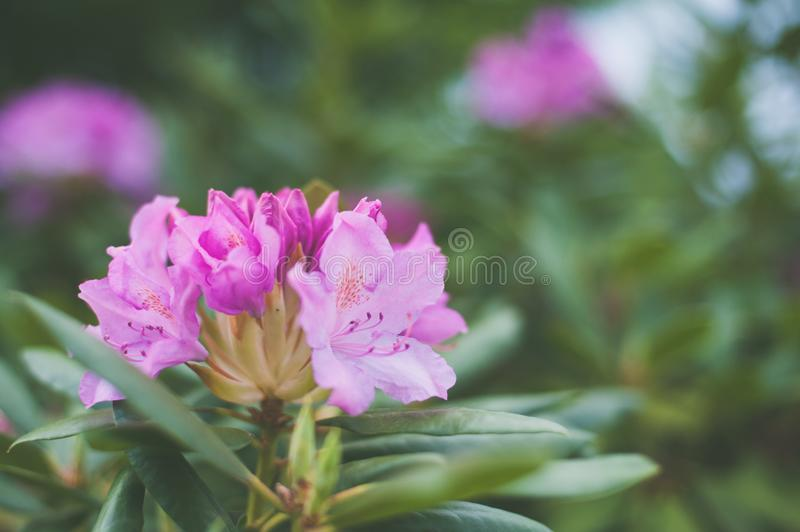 Shallow Focus Photography of Pink Petaled Flowers royalty free stock photography