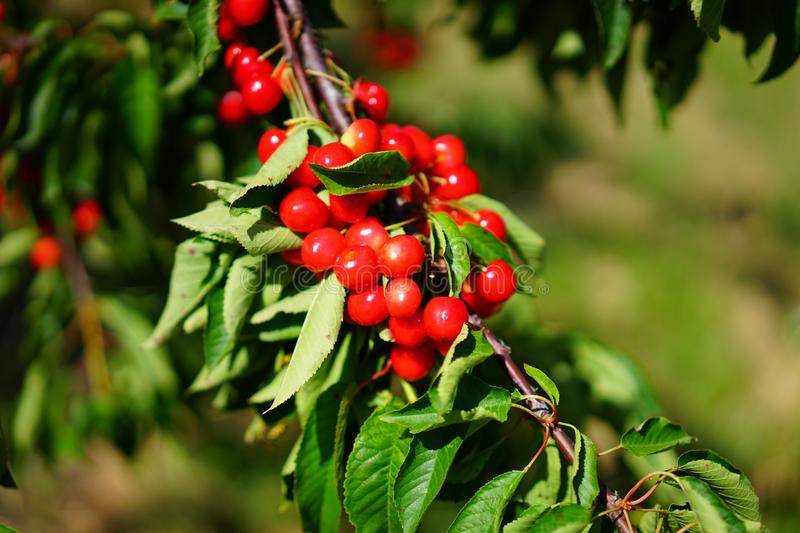 Shallow Focus Photography of Red Round Fruits stock images
