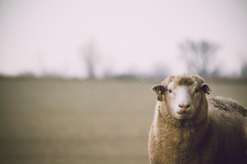 Shallow Focus Photography of Sheep royalty free stock photo